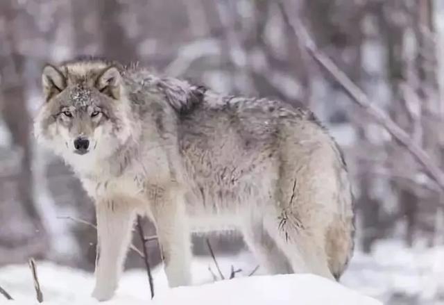 有些人,比狼還可怕